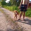 Красавец Рыжий пес 2 г по цене даром - Собаки, фото 13