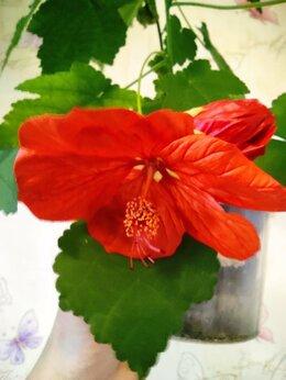 Комнатные растения - Абутилоны, 0