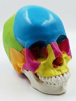 Сборные модели - Модель черепа человека, разборная, цветная, 22…, 0