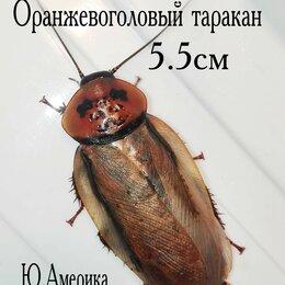 Корма  - Кормовой Оранжевоголовый таракан, 0