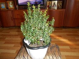 Комнатные растения - Мирт, 0