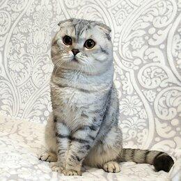 Кошки - Вислоухий кот чемпион породы по системе WCF, 0