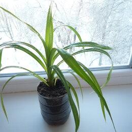 Комнатные растения - Комнатное растение Панданус или винтовая пальма, 0