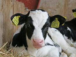 Сельскохозяйственные животные - Бычки телята , 0
