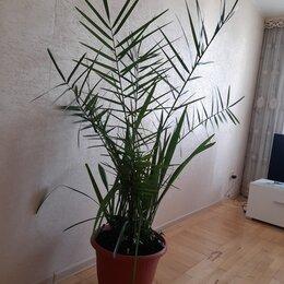 Комнатные растения - Пальма финик, высота 1,6м, 0