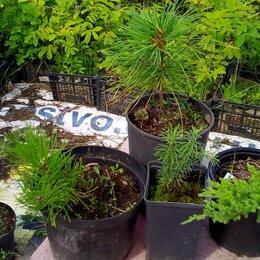 Рассада, саженцы, кустарники, деревья - Саженцы кедр, пихта, орех маньчжурский и др, 0