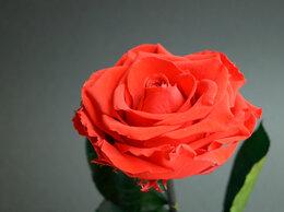 """Цветы, букеты, композиции - Алая вечная роза из сказки """"Красавица и чудовище"""", 0"""