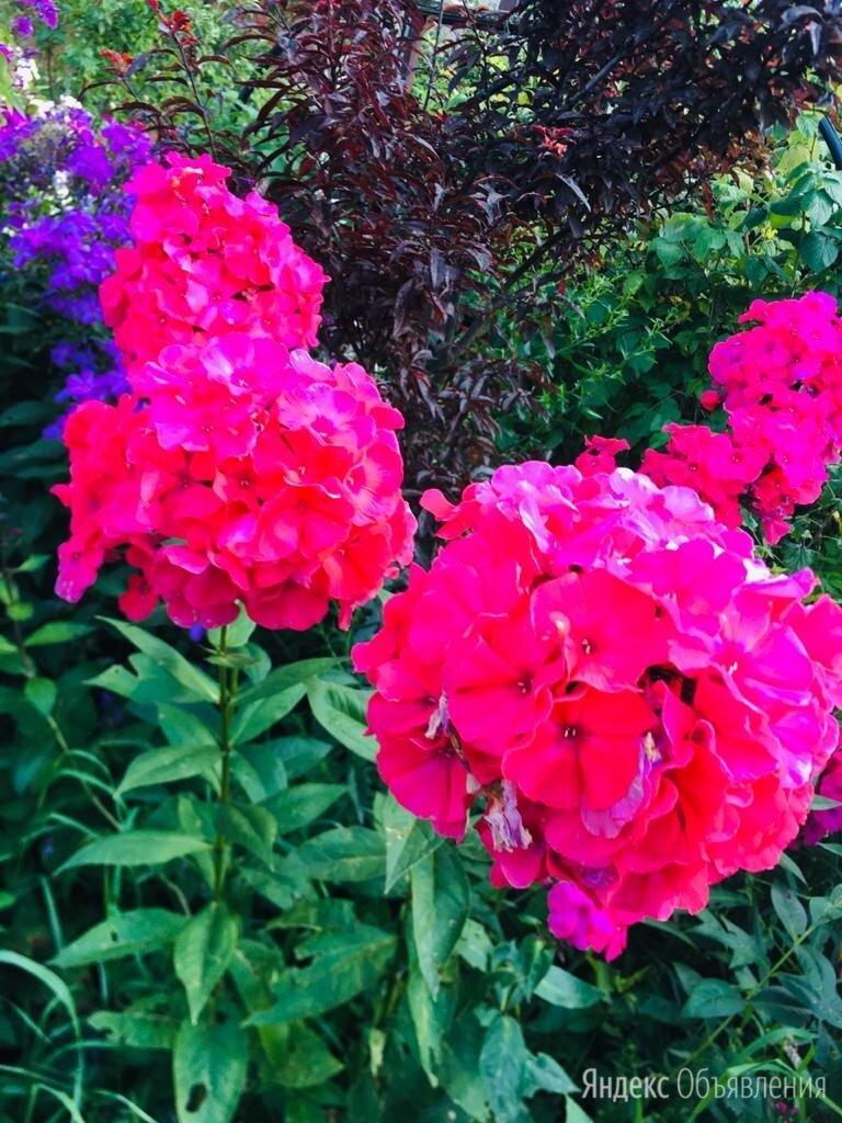 Флокс алый, очень крупные цветы по цене 400₽ - Рассада, саженцы, кустарники, деревья, фото 0