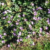 Герань садовая. по цене 100150₽ - Рассада, саженцы, кустарники, деревья, фото 3