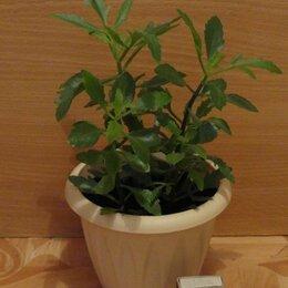 Комнатные растения - Каланхоэ рассеченное (оленьи рожки), 0