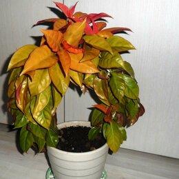 Комнатные растения - Листовой кактус Переския Годсеффа, 0