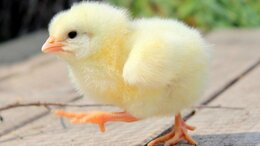 Сельскохозяйственные животные - Цыплята бройлеры,1-21 день, 0