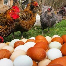 Сельскохозяйственные животные и птицы - Куры несушки 4-5 мес. разных кроссов, 0