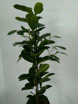Комнатные растения - Фикус Микрокарпа, 0