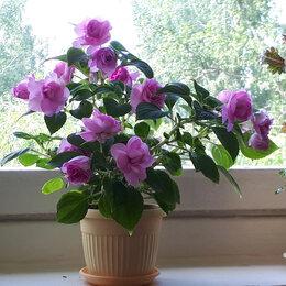 Комнатные растения - Бальзамины, молодые растения разных сортов, 0