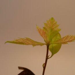 Рассада, саженцы, кустарники, деревья - Саженцы красного дуба для бонсай или озеленения, 0
