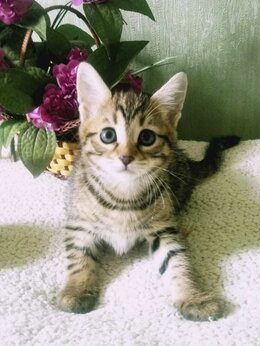 Кошки - Продаются бенгальские котята, 0