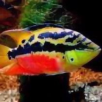 Аквариумные рыбки - Цихлазома Сальвини, 0