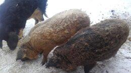 Сельскохозяйственные животные - венгерская мангалица, 0
