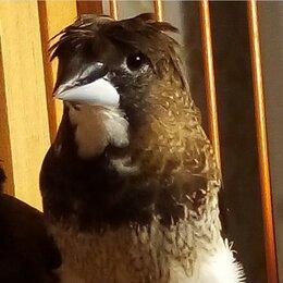 Птицы - Амадины японские, 0