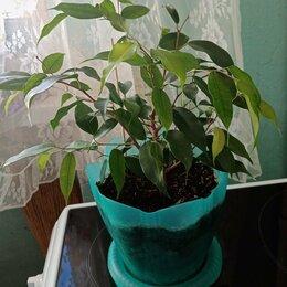 Комнатные растения - Фикус Бенджамина. , 0