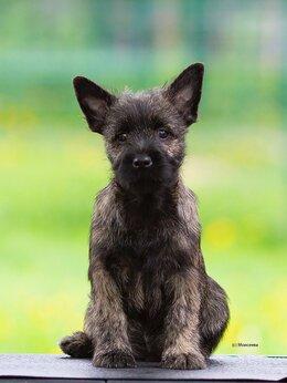 Собаки - Щенки керн терьера, 0