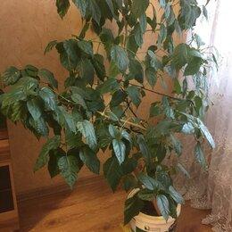 Комнатные растения - КОМНАТНЫЕ ЦВЕТЫ-гибискус-китайская роза красный1м80см, 0