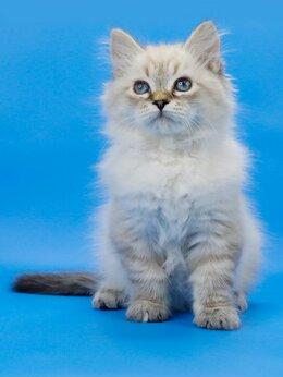 Кошки - Невская маскарадная кошечка по имени Озорница, 0