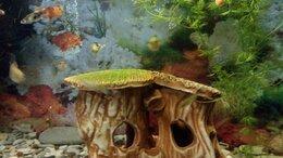Аквариумные рыбки - Рыбки Гуппи, подрощенные мальки, 0