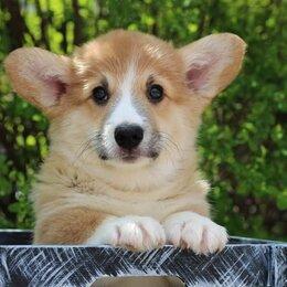 Собаки - Замечательный щенок Вельш Корги Пемброк, 0