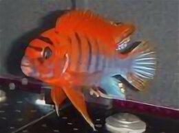 Аквариумные рыбки - Малавийцы, Афика, Америка, Перу, 0