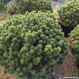 Рассада, саженцы, кустарники, деревья - Сосна горная 'Хампи', 0