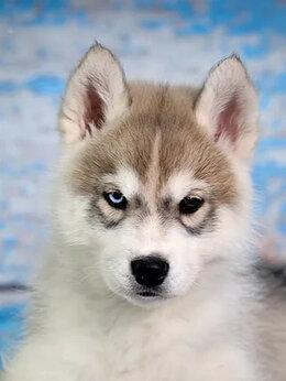 Собаки - Хаски щенки, 0