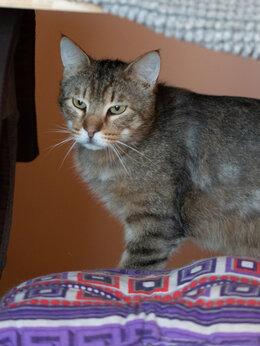 Кошки - Чудесный метис бенгала Дилан ищет дом, 0