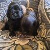 Щетки американские Кокер спаниель по цене 8000₽ - Собаки, фото 4
