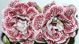 Комнатные растения - Махровые глоксинии, 0