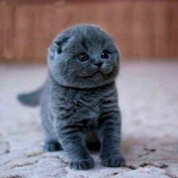 Кошки - вислоухие  голубые котята, 0