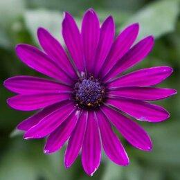 Рассада, саженцы, кустарники, деревья - Остеоспермум Пурпурный, 0