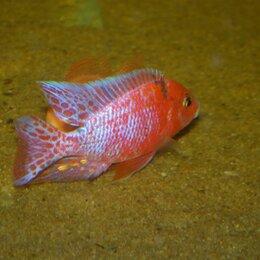 Аквариумные рыбки - Африканские цихлиды о. Малави, Танганьика , 0