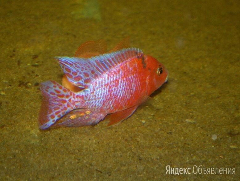 Африканские цихлиды о. Малави, Танганьика  по цене 150₽ - Аквариумные рыбки, фото 0