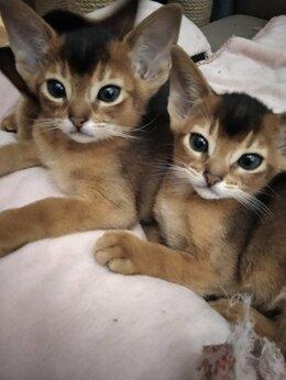 Кошки - Котята  порода абиссинская, 0