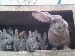 Кролики - Серый Великан Новозеландский белый Калифорнийская, 0