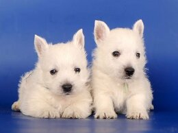 Собаки - Чудесные, красивые щенки Вест хайленд вайт терьер., 0