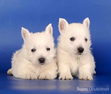 Чудесные, красивые щенки Вест хайленд вайт терьер. по цене 55000₽ - Собаки, фото 0