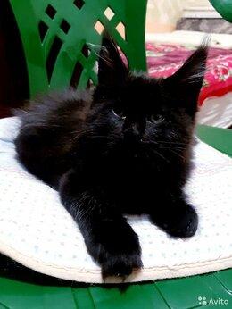 Кошки - Черный котенок лапочка Мейн кун, 0
