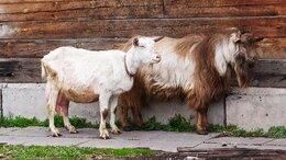 Сельскохозяйственные животные - Зааненский козлик на племя, 0