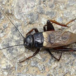 Корма - Кормовые насекомые (сверчки), 0