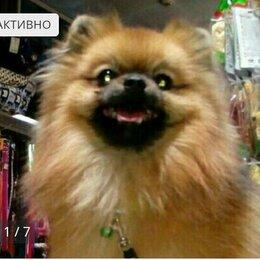 Собаки - Померанский цверг шпиц вязка, 0