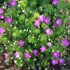 Герань садовая. по цене 100150₽ - Рассада, саженцы, кустарники, деревья, фото 4