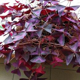 Комнатные растения -    Кислица  фиолетовая ( поштучно. растениями), 0